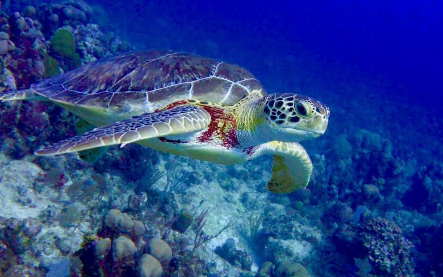 Turtle in Turks & Caicos