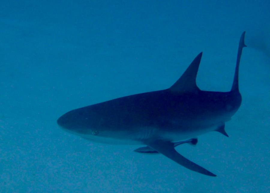 Reef Shark Turks & Caicos