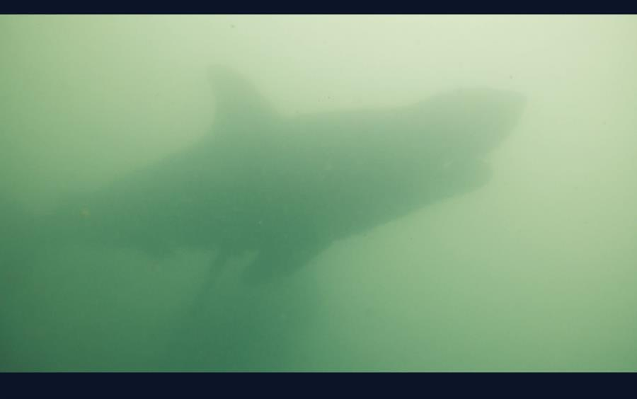 Shark at Lake Murray