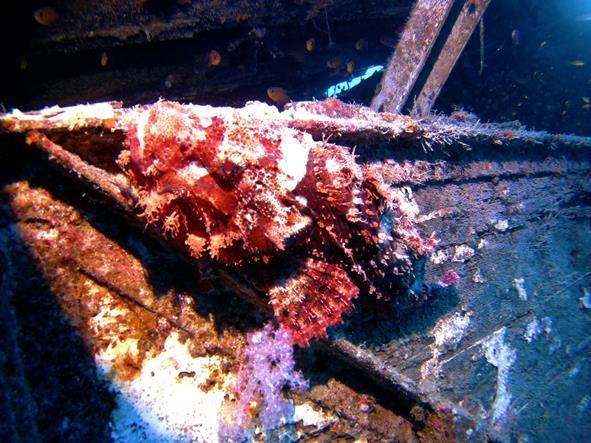 red sea scorpion fish