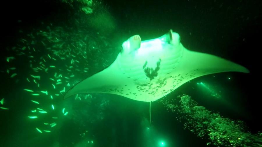 Bis Island Hawaii, Manta Ray Dive