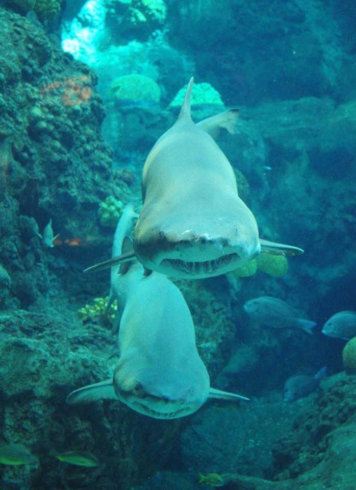 Shark Dive Florida Aquarium