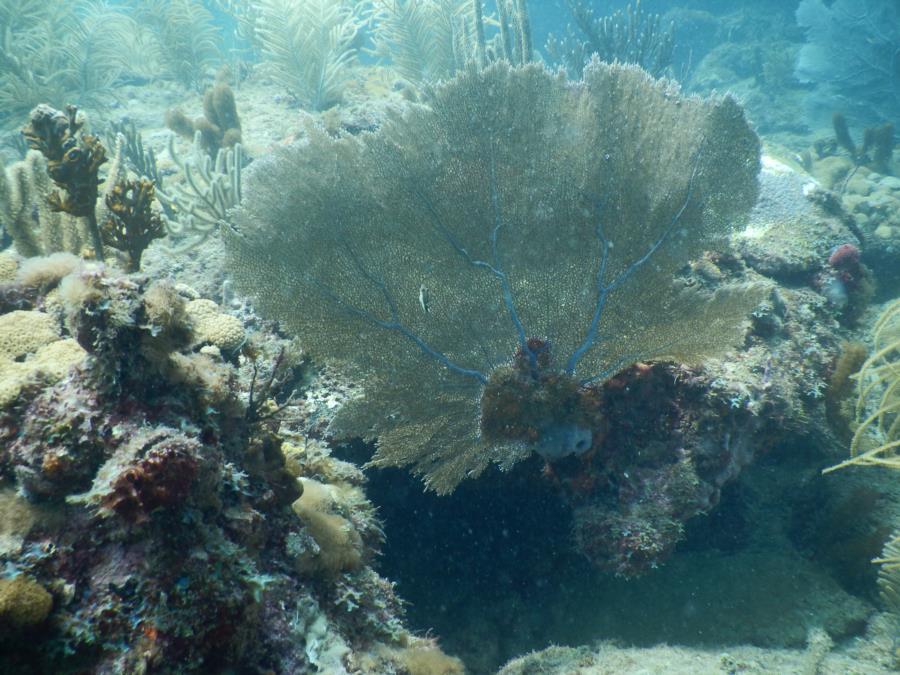 Sea Fan & Coral