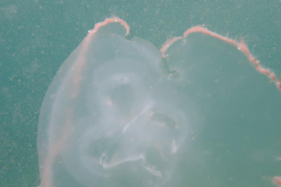 Jelly Fish - BHB