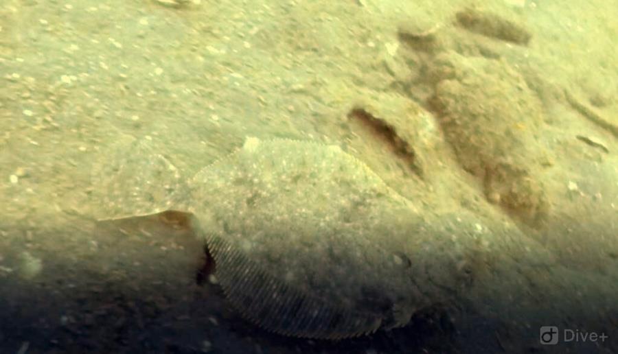 Flounder at Auke Rec in Juneau, AK (06/09/2018)