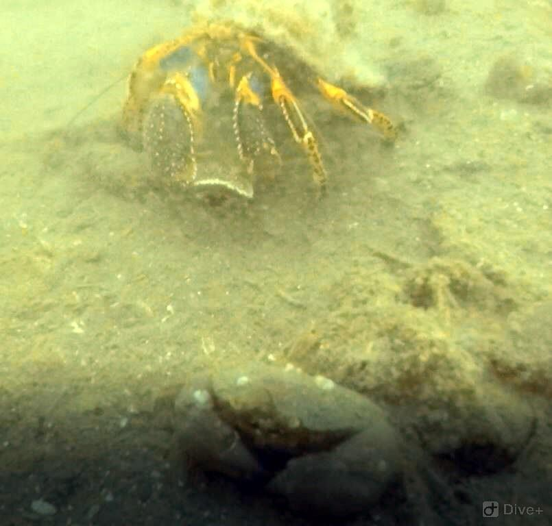 Hermit Crab and Baby Dungeness Crab at Auke Rec in Juneau, AK (06/09/2018)