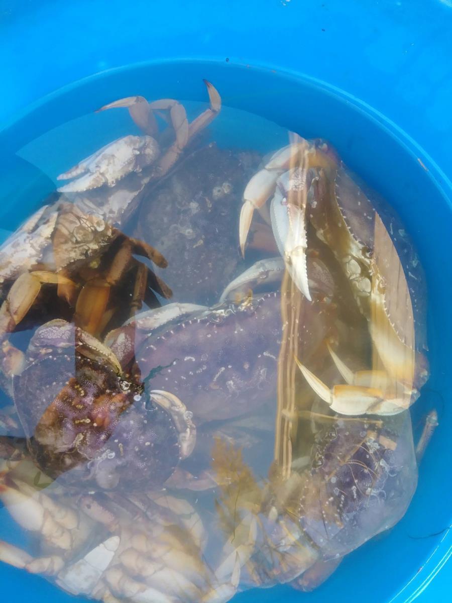 Lots of Crab