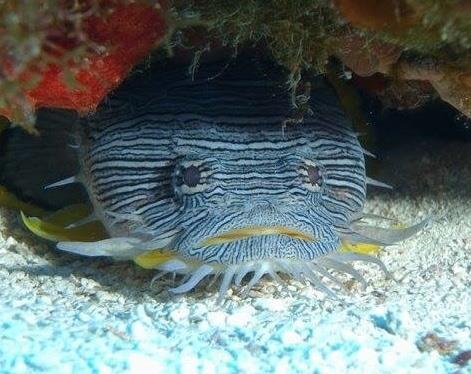 Cozumel Splendid ToadFish