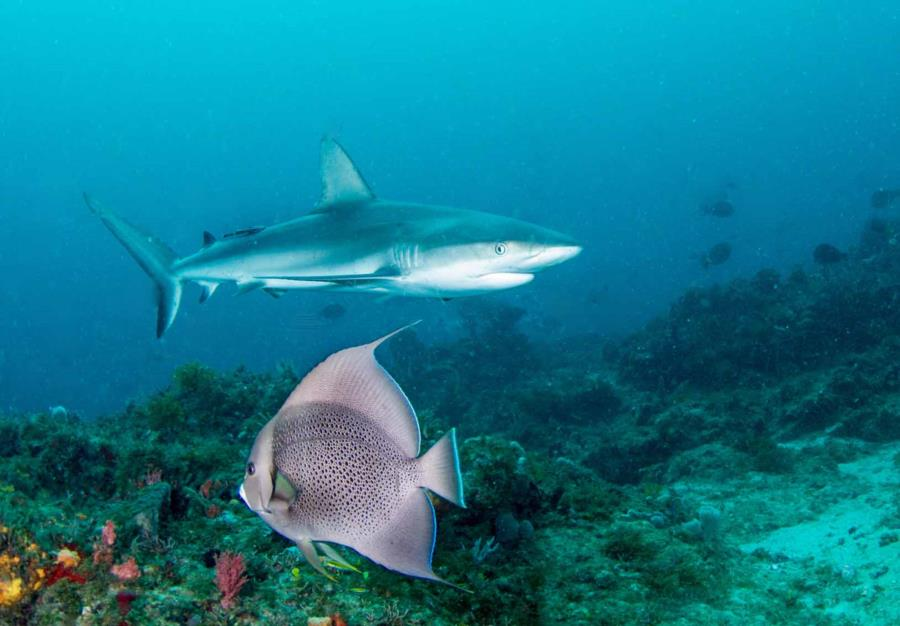 Shark and Gray Angelfish West Palm Beach Narcosis