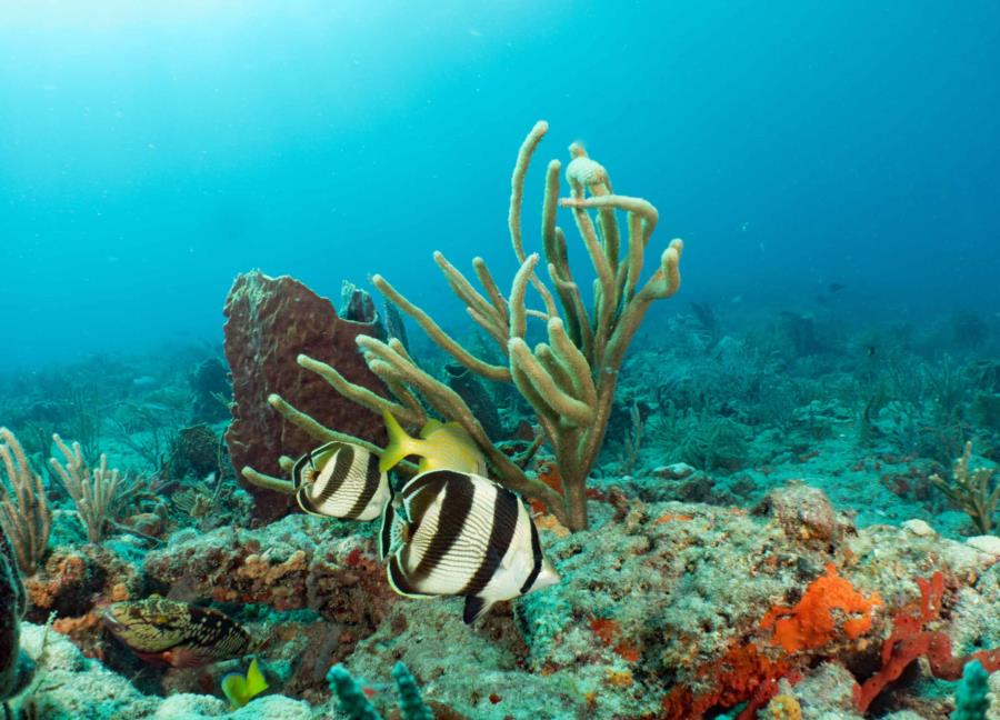 Banded Butterflyfish West Palm Beach Narcosis
