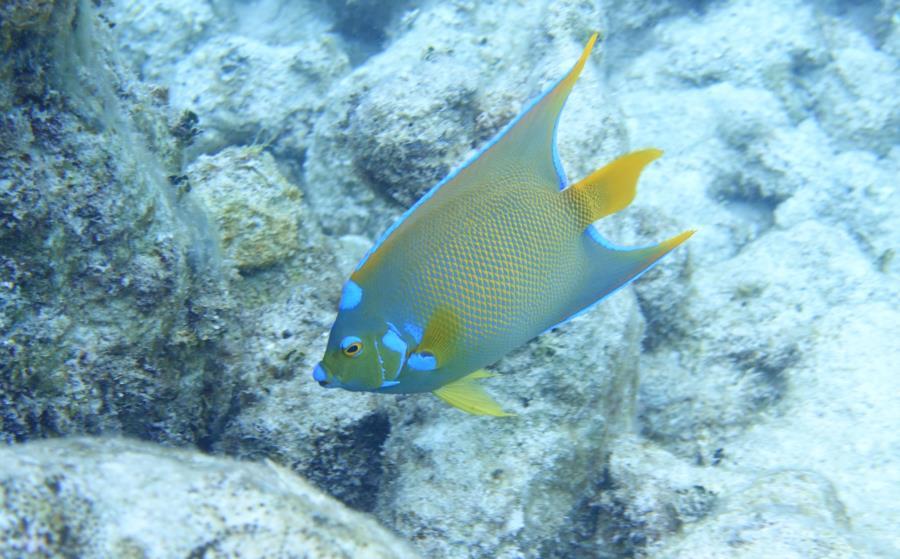 Queen Angel-Bahamas