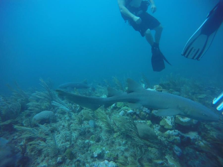 More nurse sharks