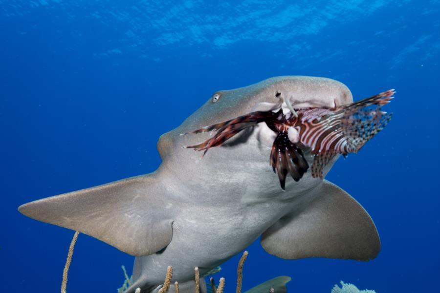 Shark Eats Lionfish