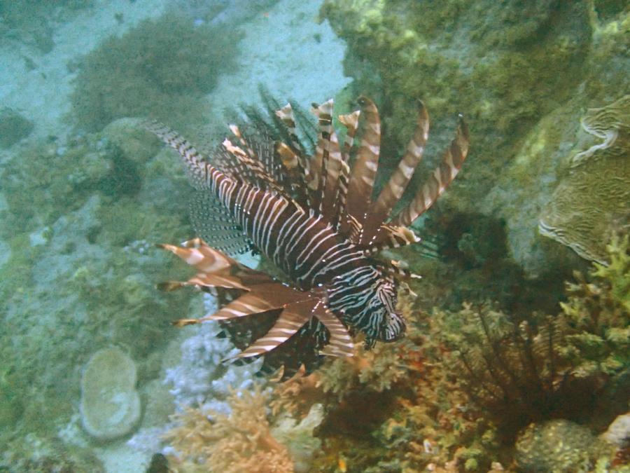 lion fish in puerto galera, philippines