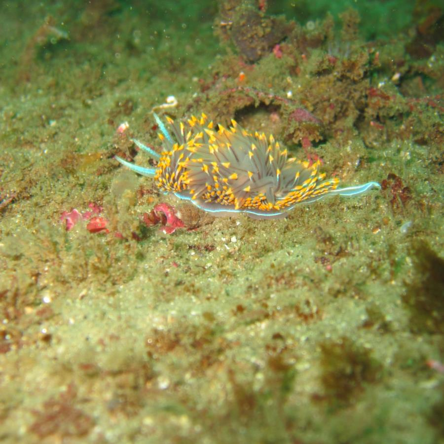 Nudibranch?