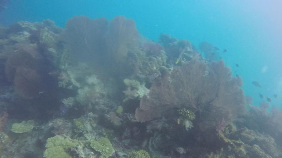 Fiji Coral 2