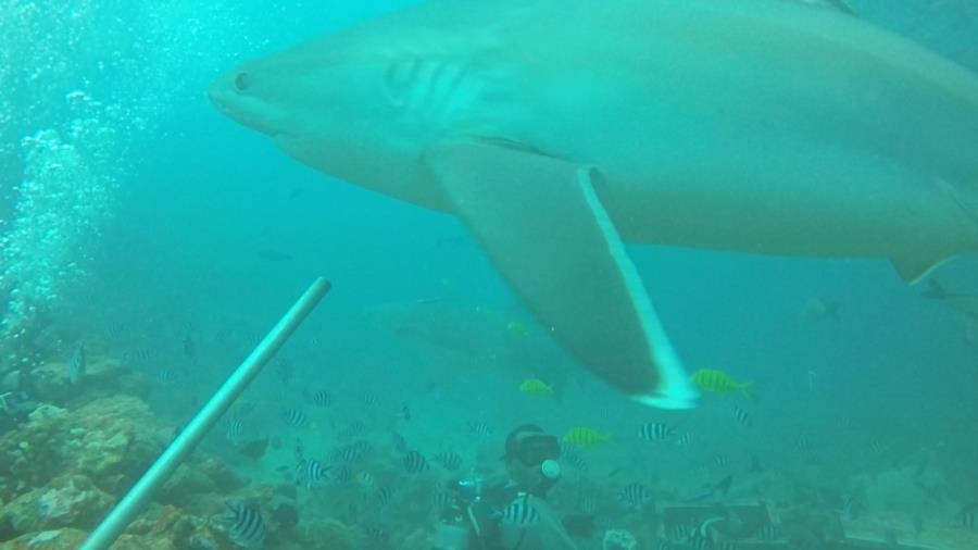 Fiji Shark Dive 1