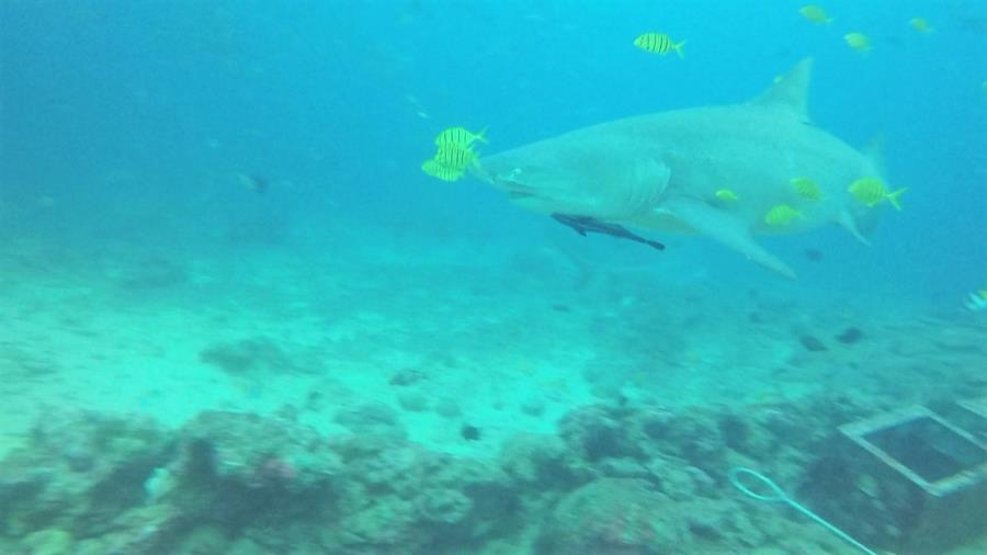 Fiji Shark Dive 3