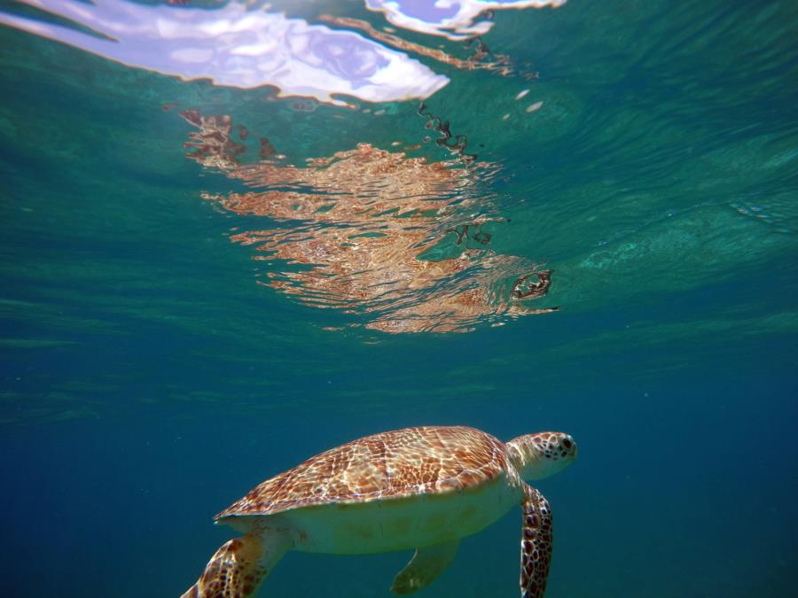 Sea Turtle - St. John USVI