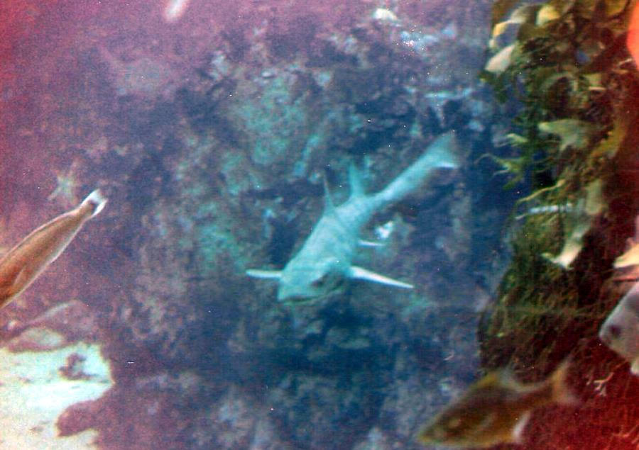 Pt. Lobos Leopard Shark