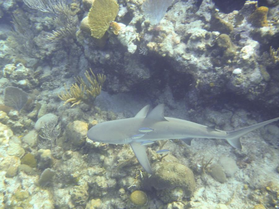 Reef Shark - Turks & Caicos