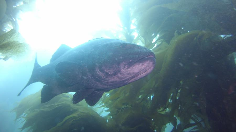 Giant Sea Bass