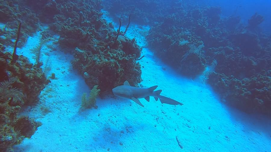 Cayman 2020 - Nurse Shark