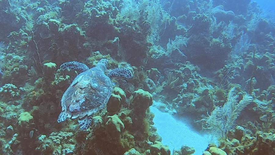 Cayman 2020 - Sea turtle