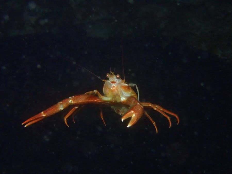 pelagic crab