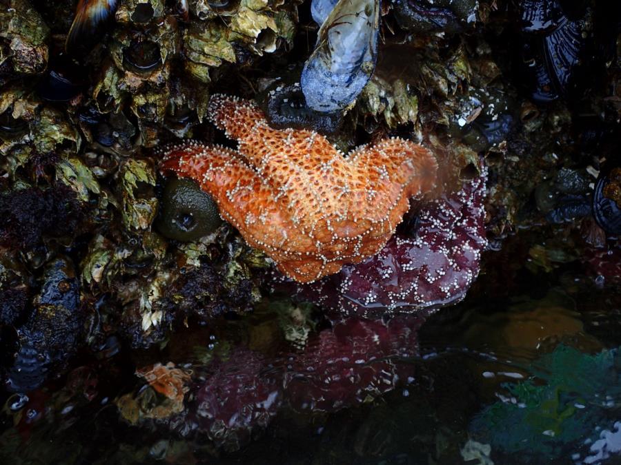 Wharf starfish anenome