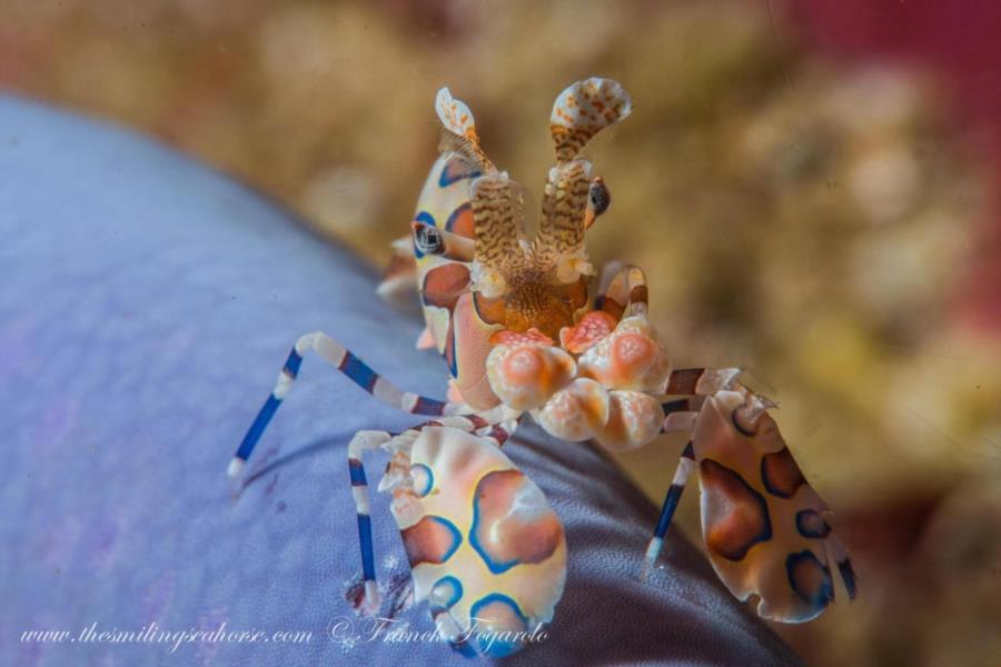 Harlequin shrimp on a blue seastar