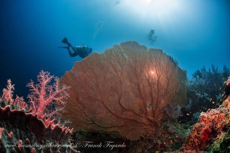 Giant Seafan, Mergui Archipelago, Myanmar
