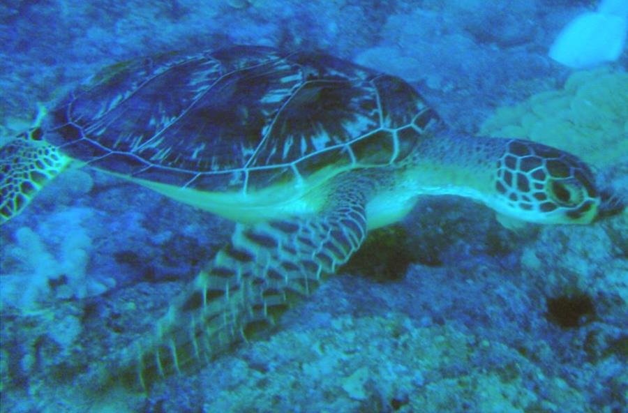 Turtle Friend in Guam