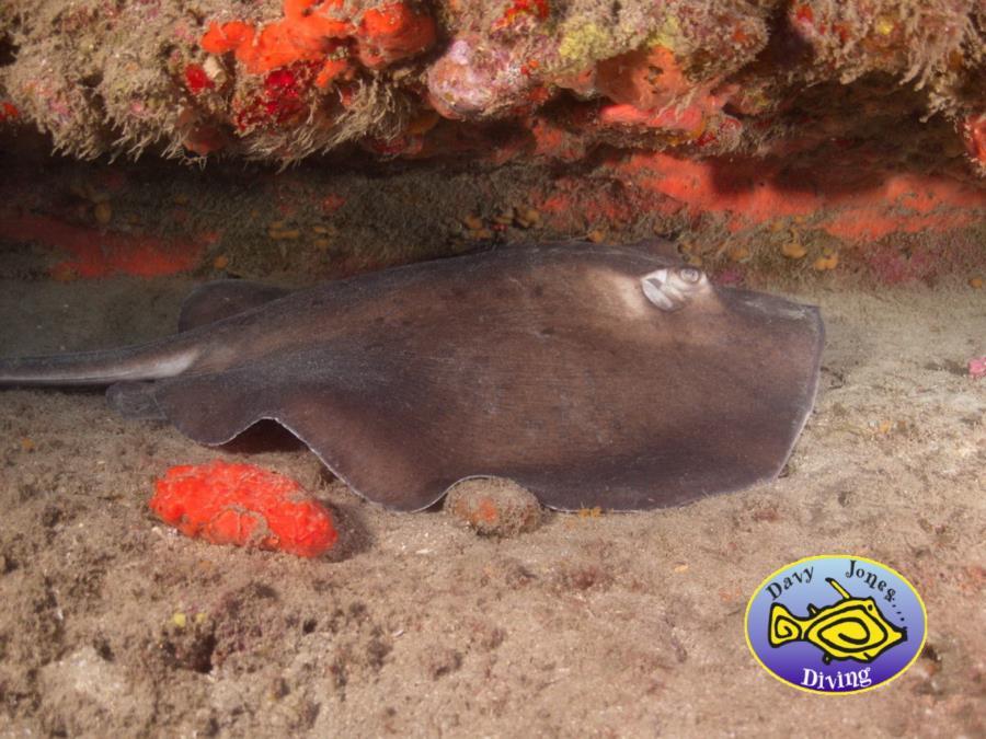 Round Ray, Scuba Diving in Gran canaria