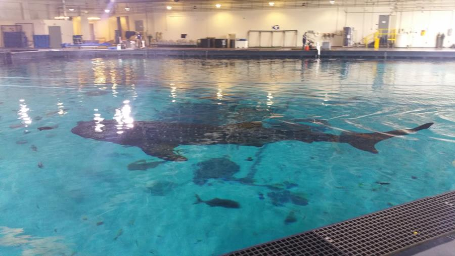 Whale shark georgia