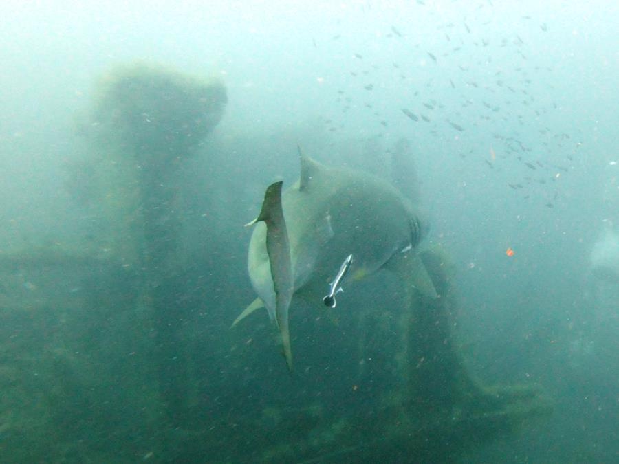 Sandtiger Sharks