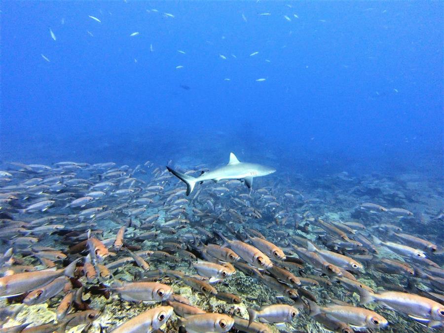 Troys Sharks 1