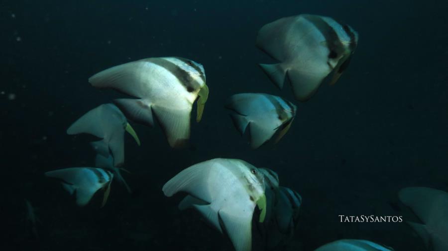 Batfish 2, Maldives
