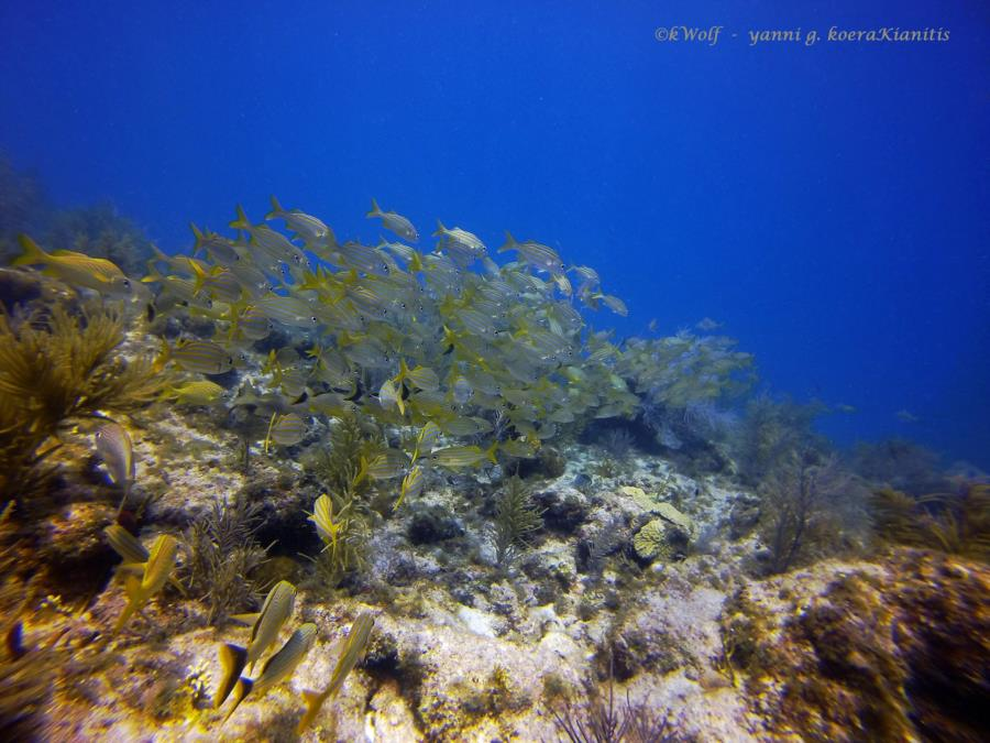 yellowtail snapper fish
