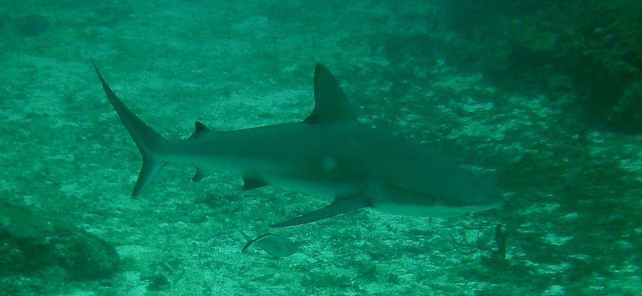 St Croix Shark
