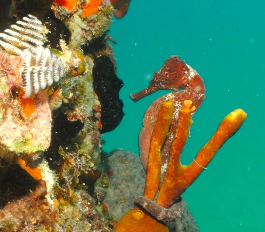 Seahorse, Fredericksted, USVI