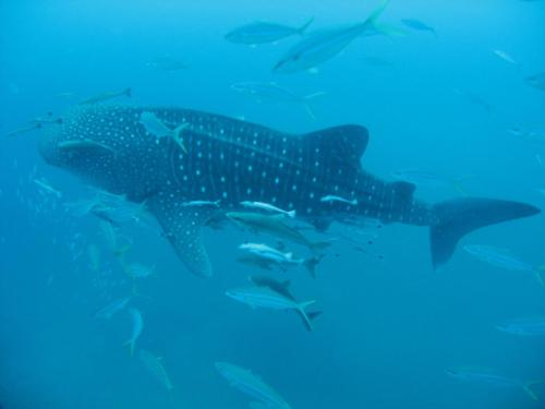 Whaleshark at Richelieu Rock