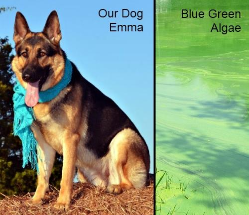 Water with Blue Green Algae Kills Dogs