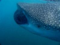 Baja whale shark trip report