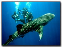 Whale Shark Sighting in Koh Tao Thailand