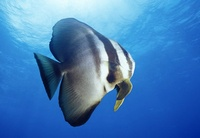 Diving and Conservation in Fiji