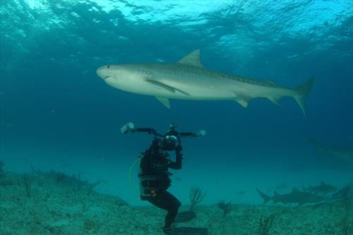 2012 Tiger shark expedition, Bahamas