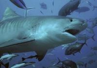 Tiger Shark Part 3