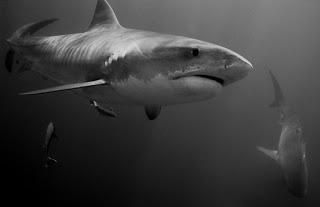 Ila France Porcher at the Forefront of Shark Conservation