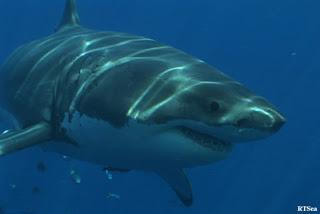 Sharks At Risk In Australia: tagged sharks may be victims of Western Australia hysteria
